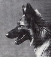 schwarzer zotteliger hund